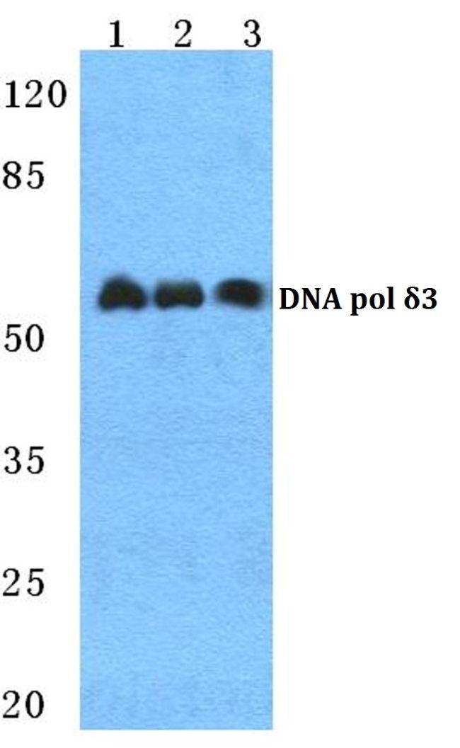 POLD3 Antibody (PA5-36951)