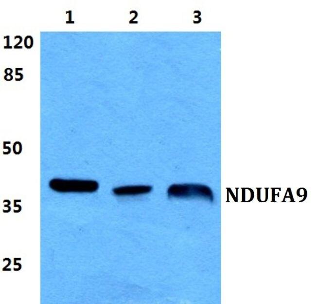 NDUFA9 Antibody (PA5-36993) in Western Blot
