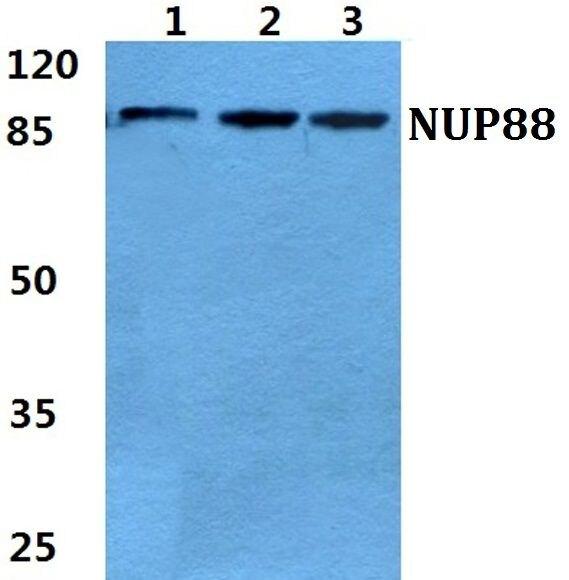 NUP88 Antibody (PA5-37004)