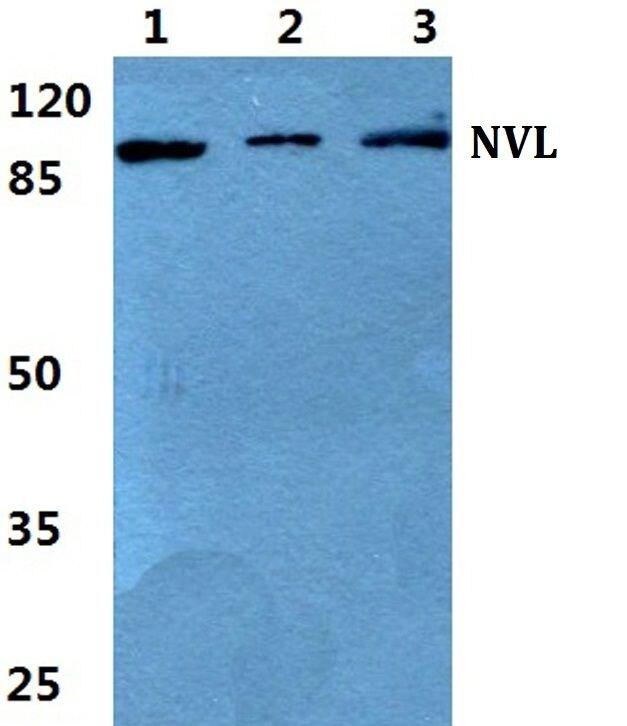 NVL Antibody (PA5-37005)