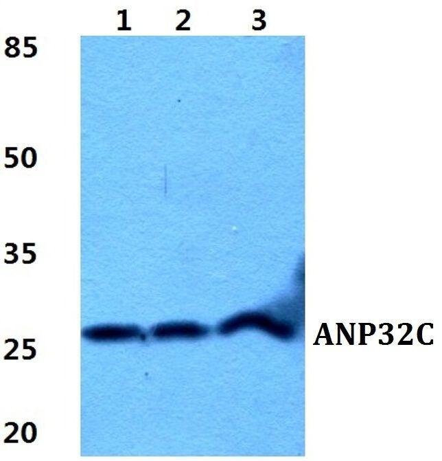 ANP32C Antibody (PA5-37020) in Western Blot