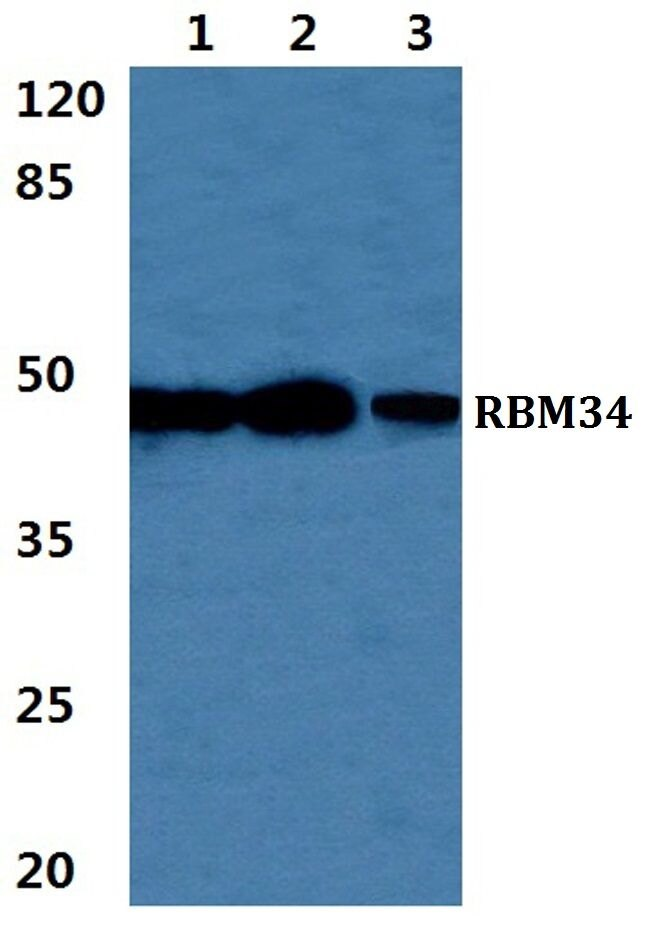 RBM34 Antibody (PA5-37036) in Western Blot