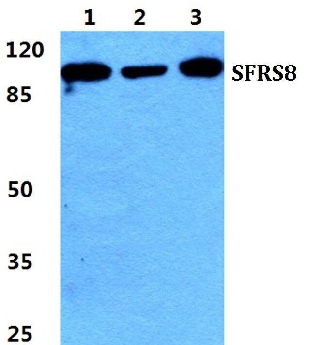 SFRS8 Antibody (PA5-37068)