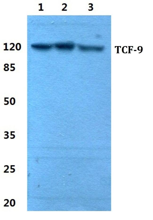 TCF9 Antibody (PA5-37072) in Western Blot