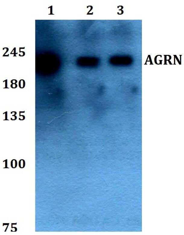 Agrin Antibody (PA5-37121)