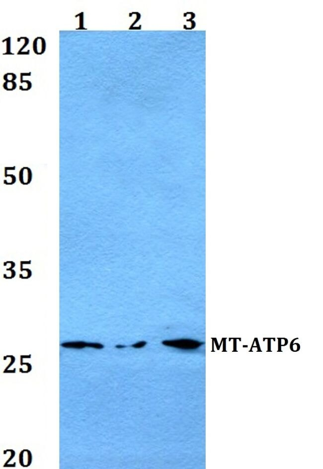 MT-ATP6 Antibody (PA5-37129) in Western Blot