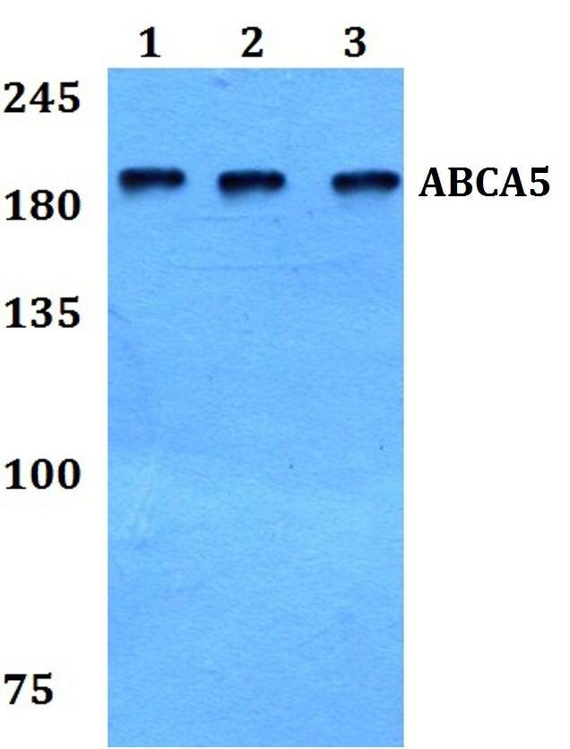 ABCA5 Antibody (PA5-37131)