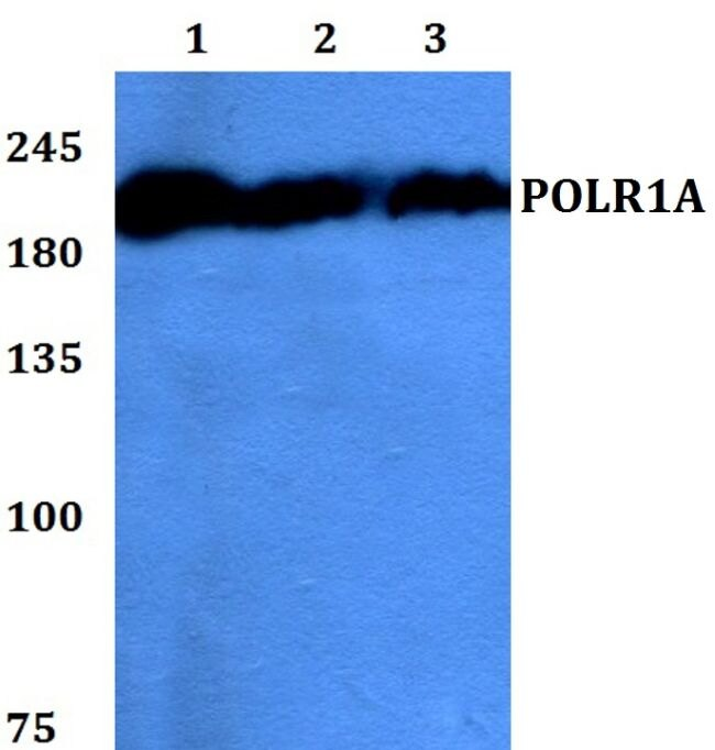 POLR1A Antibody (PA5-37156) in Western Blot