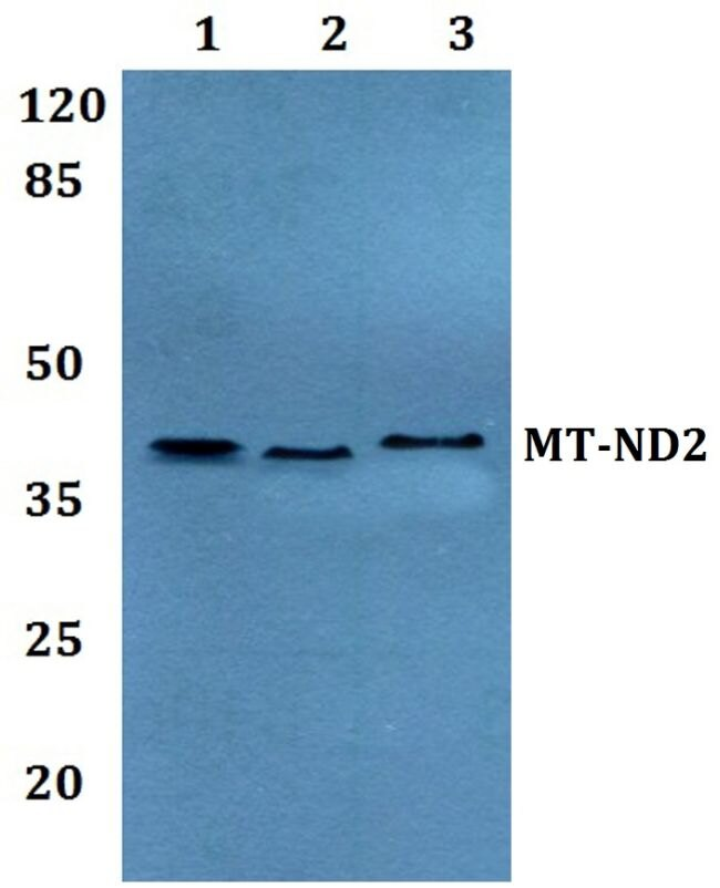 MT-ND2 Antibody (PA5-37185) in Western Blot