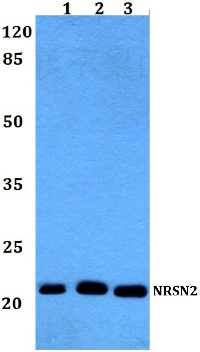 Neurensin 2 Antibody (PA5-37188)