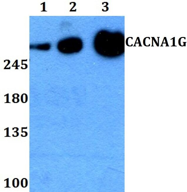 Calcium Channel 1G Antibody (PA5-37236) in Western Blot