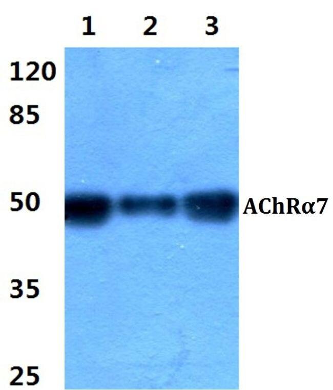 CHRNA7 Antibody (PA5-37280)