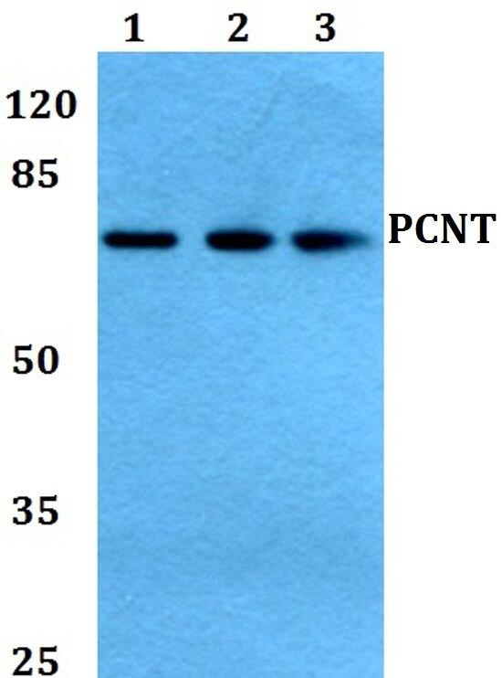 Pericentrin Antibody (PA5-37295) in Western Blot
