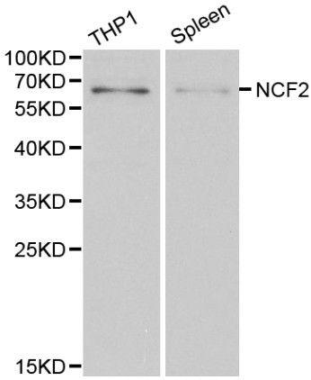 NCF2 Antibody (PA5-37323)