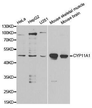 CYP11A1 Antibody (PA5-37359) in Western Blot
