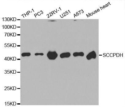 SCCPDH Antibody (PA5-37402) in Western Blot