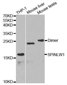 SPINLW1 Antibody (PA5-37403) in Western Blot