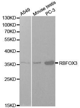 NeuN Antibody (PA5-37407)