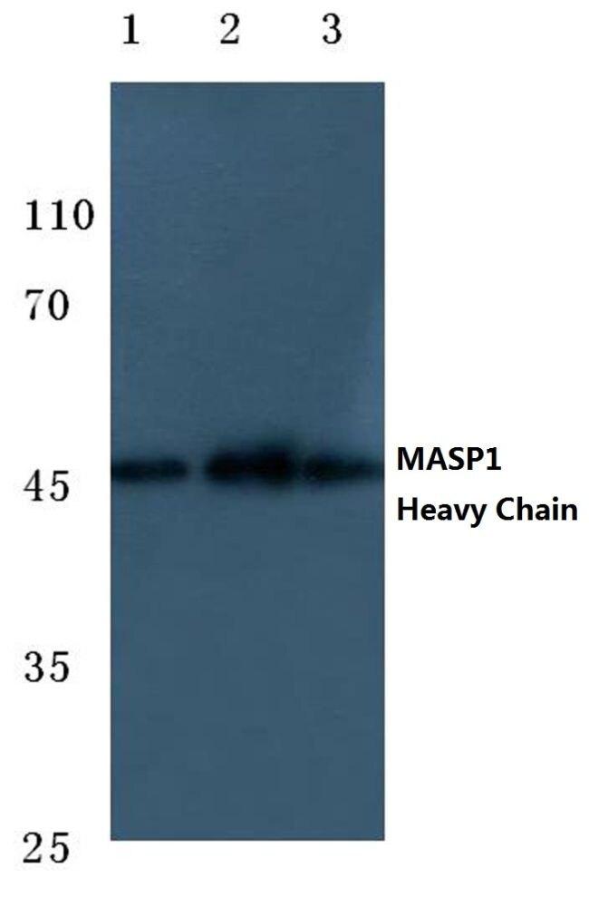 MASP1 Antibody (PA5-37428)