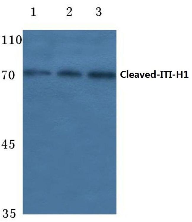 ITIH1 (Cleaved Asp672) Antibody (PA5-37430) in Western Blot