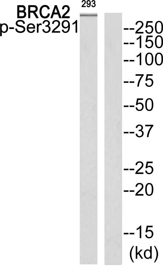 Phospho-BRCA2 (Ser3291) Antibody (PA5-37499)