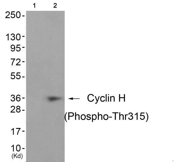 Phospho-Cyclin H (Thr315) Antibody (PA5-37511)