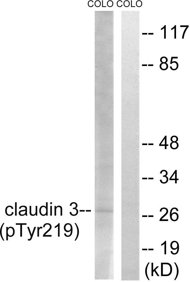 Phospho-Claudin 3 (Tyr219) Antibody (PA5-37526)