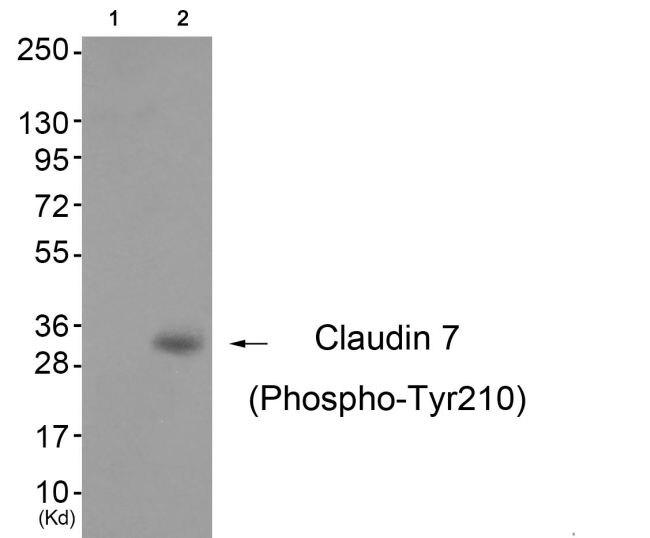 Phospho-Claudin 7 (Tyr210) Antibody (PA5-37527) in Western Blot