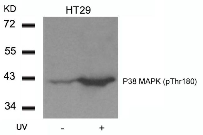 Phospho-p38 MAPK alpha (Thr180) Antibody (PA5-37535) in Western Blot