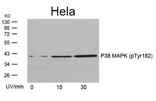 Phospho-p38 MAPK alpha (Tyr182) Antibody (PA5-37536) in Western Blot