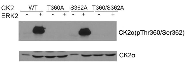 Phospho-CK2 alpha (Thr360, Ser362) Antibody (PA5-37540)