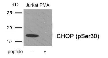 Phospho-CHOP (Ser30) Antibody (PA5-37547) in Western Blot