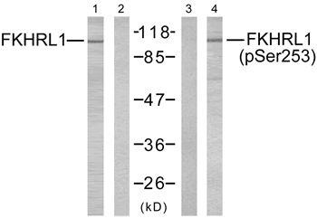 Phospho-FOXO3 (Ser253) Antibody (PA5-37578) in Western Blot