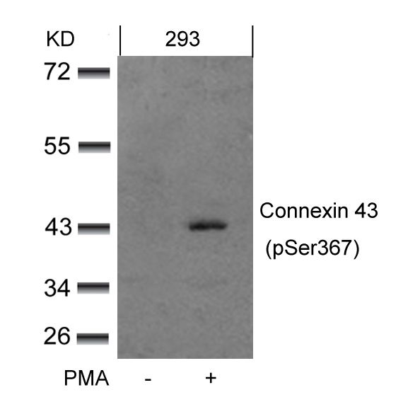 Phospho-Connexin 43 (Ser367) Antibody (PA5-37585) in Western Blot