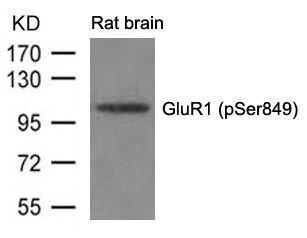 Phospho-GluR1 (Ser849) Antibody (PA5-37588) in Western Blot