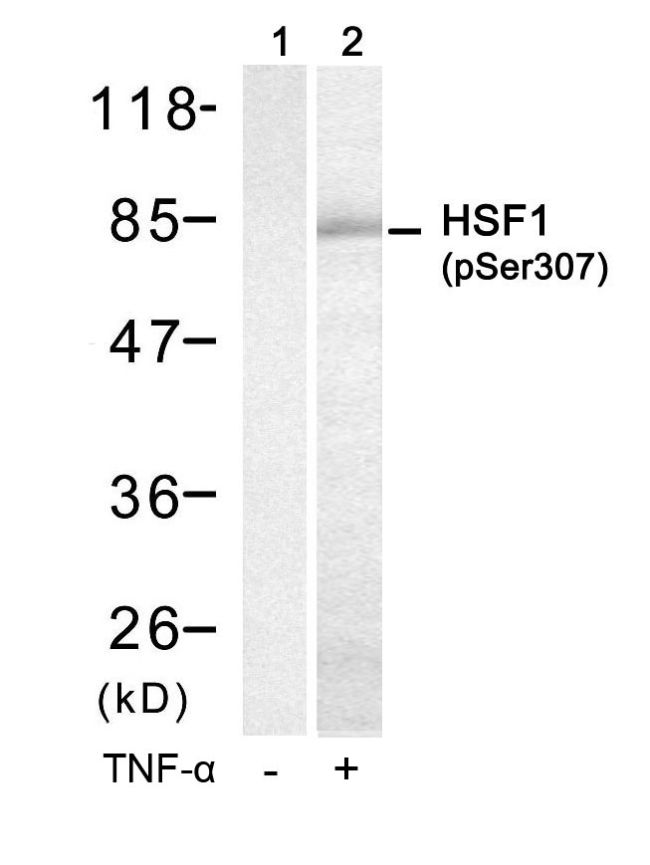 Phospho-HSF1 (Ser307) Antibody (PA5-37599) in Western Blot