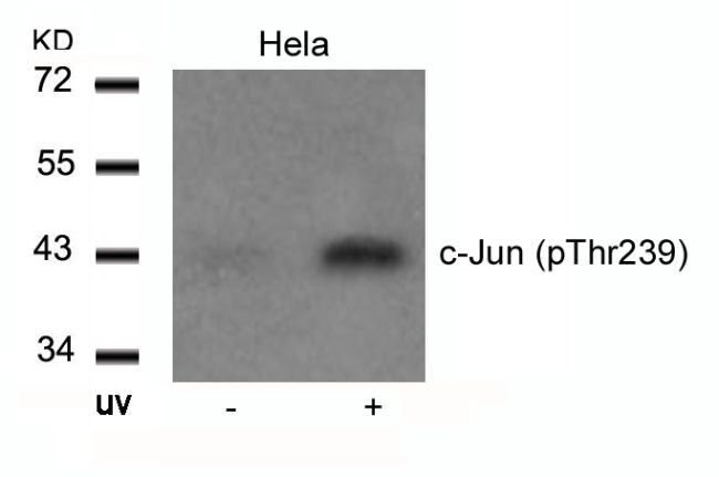 Phospho-c-Jun (Thr239) Antibody (PA5-37619) in Western Blot