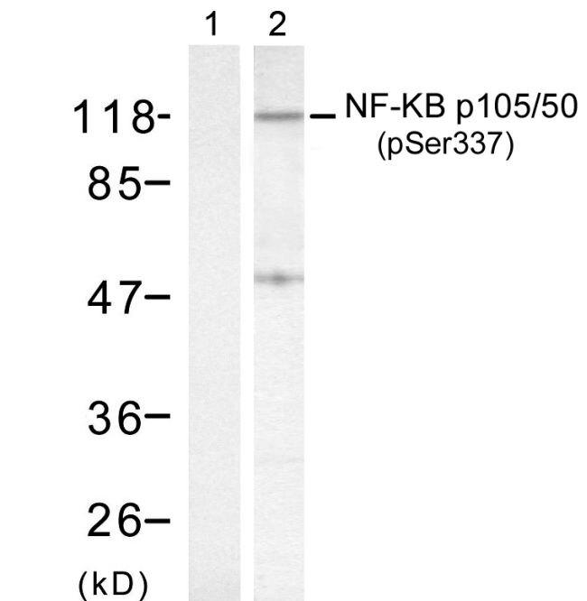 Phospho-NFkB p50 (Ser337) Antibody (PA5-37658) in Western Blot