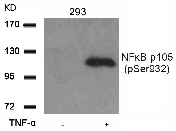 Phospho-NFkB p50 (Ser932) Antibody (PA5-37662) in Western Blot