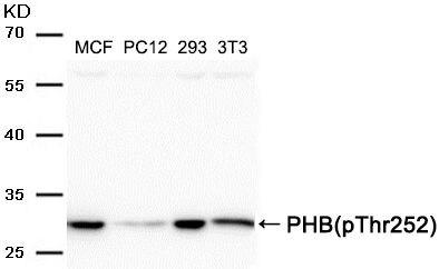 Phospho-Prohibitin (Thr252) Antibody (PA5-37681) in Western Blot