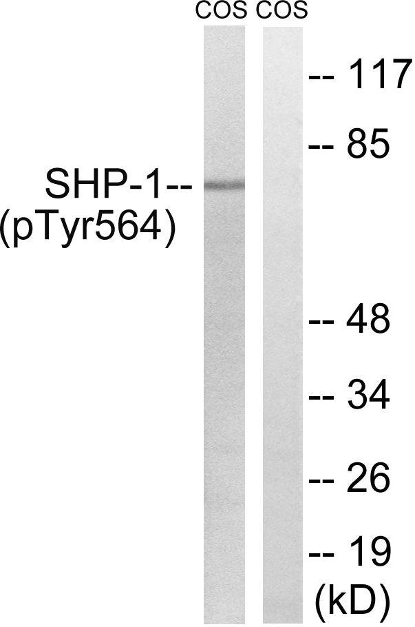 Phospho-SHP-1 (Tyr564) Antibody (PA5-37708) in Western Blot