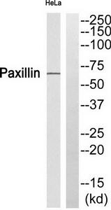 Phospho-Paxillin (Ser272) Antibody (PA5-37709)