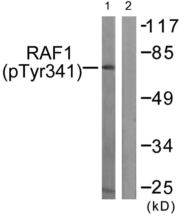 Phospho-c-Raf (Tyr341) Antibody (PA5-37713) in Western Blot