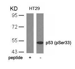 Phospho-p53 (Ser33) Antibody (PA5-37759) in Western Blot