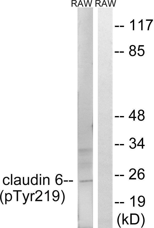 Phospho-Claudin 6 (Tyr219) Antibody (PA5-37771)