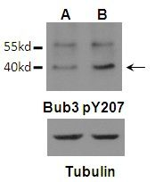 Phospho-Bub3 (Tyr207) Antibody (PA5-37772)