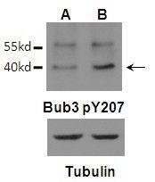Phospho-Bub3 (Tyr207) Antibody (PA5-37772) in Western Blot