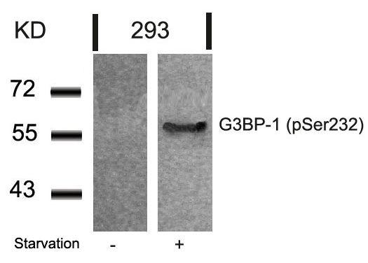 Phospho-G3BP1 (Ser232) Antibody (PA5-37781) in Western Blot