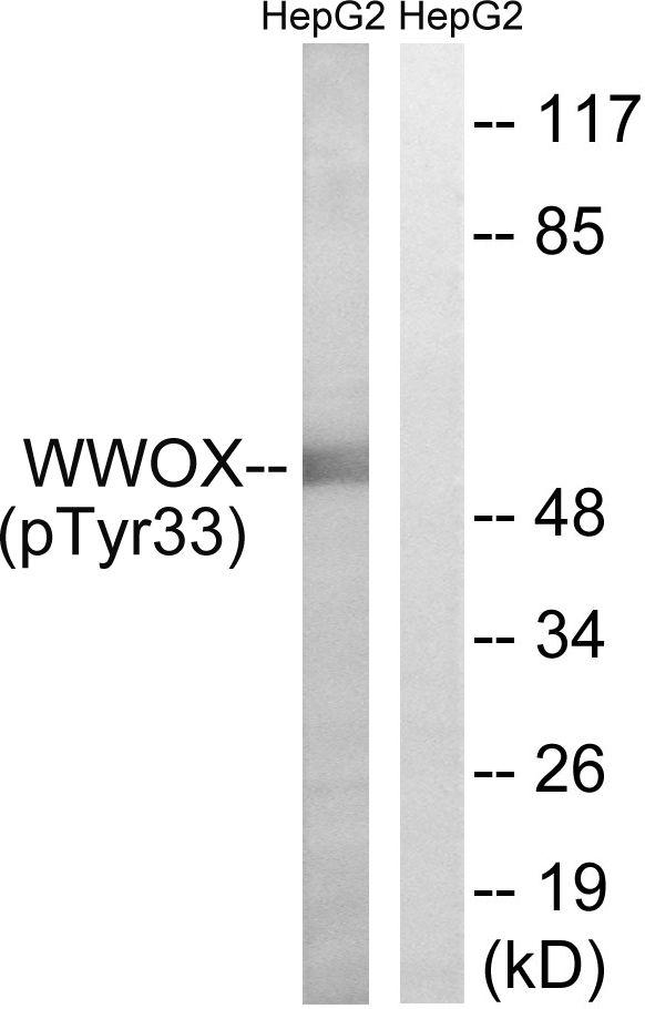 Phospho-WWOX (Tyr33) Antibody (PA5-37795) in Western Blot