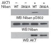 Phospho-FAM129A (Ser602) Antibody (PA5-37802) in Western Blot